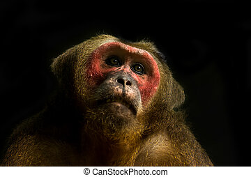 Close up of Stump-tailed macaque. (Macaca arctoides)