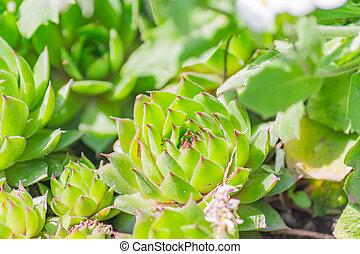 close up of Succulent plant houseleek Sempervivum. Natural background