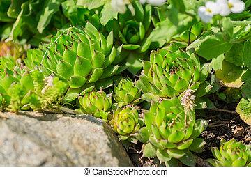 close up of Succulent plant Sempervivum in the garden