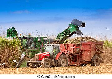 Close-up of sugar cane harvest