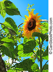 Close-up of sun flower isolated on blue sky.
