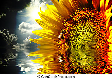 Close-up of sun flower on the sanset background