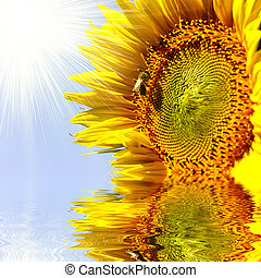 Close-up of sun flower on the sanset background reflecting in wa