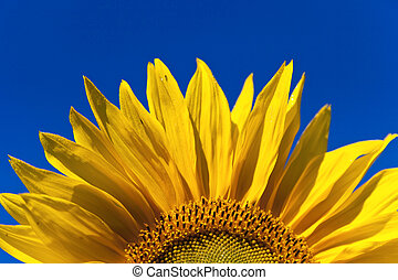 Close-up of sunflower against a blue sky background