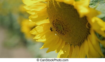Close up of sunflower blossom with bee moves on the wind in...