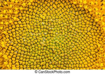 Close up of sunflower in garden