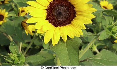 Close up of sunflower in the morning