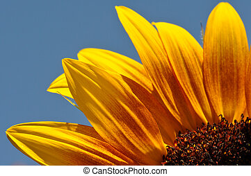 Close Up of Sunflower Petals