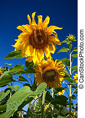 Close-up of sunflowers against a blue sky background