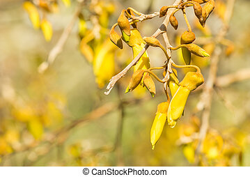 yellow kowhai tree flowers in bloom - close-up of sunlit...
