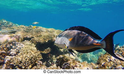 Close-up of surgeon fish swimming in coral reefs