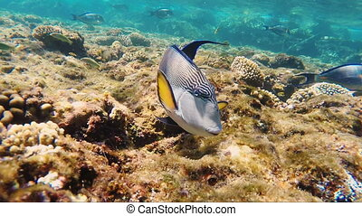 Close-up of surgeon fish swims near the camera