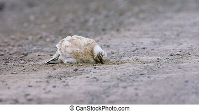 Close-up of Svalbard Ptarmigan grouse in the arctic -...