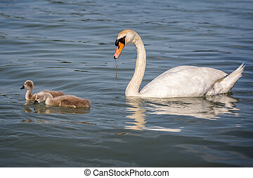 Close up of swan family