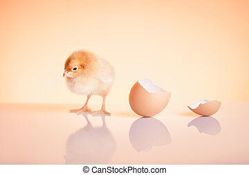 Close up of sweet newborn chicken