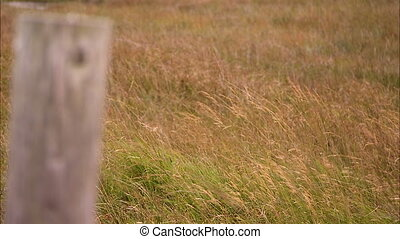 Close up of tall grass blowing in the wind - Close up of...