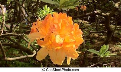 Close Up of the Azalea flower. - Japanese Garden in the...