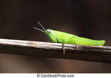 close up of the grasshopper on branch