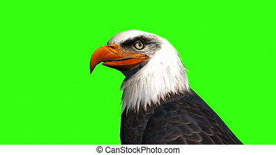 Close up of the head of a bald eagle on a Green Screen.