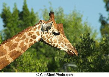 Close-up of the head of a giraffe