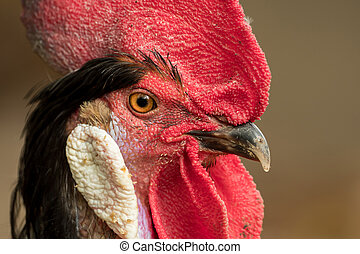 Close-up of the head of a rooster
