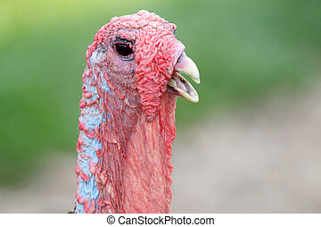 close up of the head of a turkey