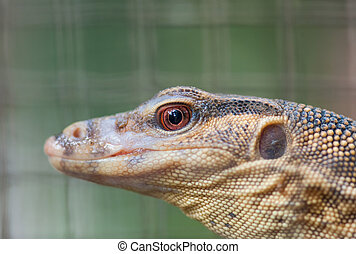 close up of the head of a young water monitor(Varanus salvator) lizard inside a cage