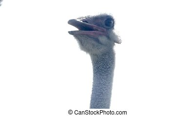 Close-up of the head of ostrich HD