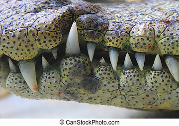 mouth and teeth a crocodile - close up of the mouth and...