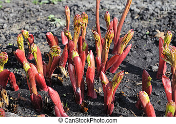 close-up of the peony sprouts in the garden