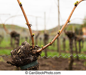 Detail of the pruning of old ancient vine with two leaders fastened to wire frame in spring as the buds are about to sprout