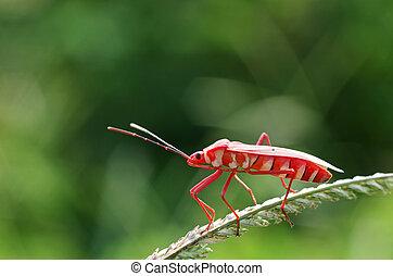 red hemipteran bug - close up of the red hemipteran bug on...