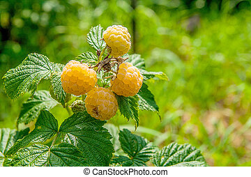 Close up of the ripe and unripe yellow raspberry in the fruit garden. Growing natural bush of yellow raspberry. Branch of yellow raspberry in sunlight.