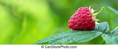 Close-up of the ripe raspberry in the fruit garden. - ...