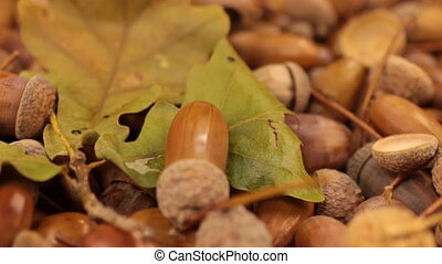 Close-up of the rotation of oak acorns and leaf. Life and...