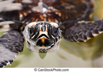 Hawksbill Sea Turtle - Close-up of the tomium of Hawksbill ...