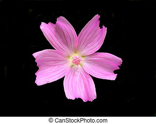 Musk-mallow - Close up of the wild flower Musk-mallow (Malva...