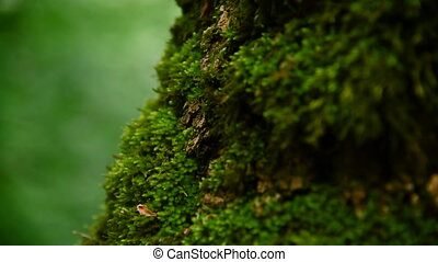 Close-up of thick green moss in the forest on a thick tree...