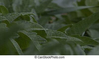 Close up of thick, meaty vegetable leaves - A close up of...