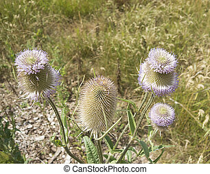 Close up of thistle in the park