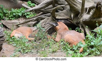 Close up of three baby caracal kittens playing - Close up...