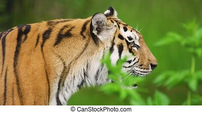 Close-up of tiger sticking in forest - Close-up of tiger ...