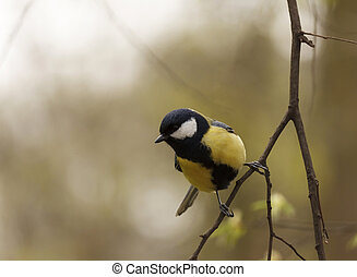 tomtit sitting on branch of tree