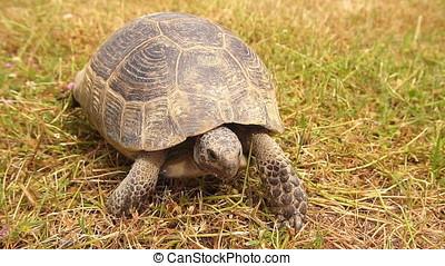 Close-up of Tortoise Walking, Slow motion