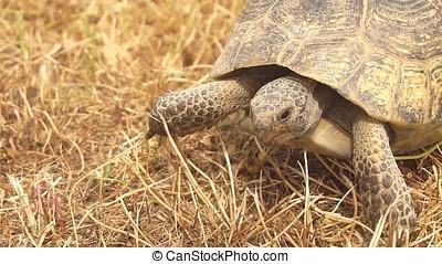 Close-up of Tortoise Walking, Slow motion.