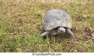 Close-up of Tortoise Walking