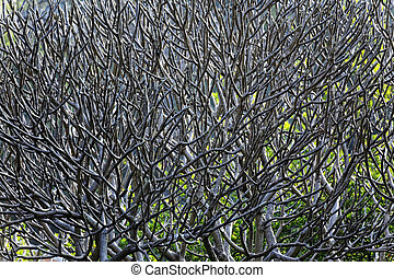 Close Up of tree branches without leaves die a horrible drought.