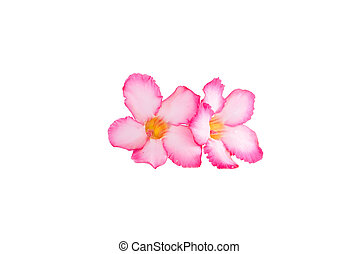 Close up of Tropical flower Pink Adenium or Desert rose on isolated white background