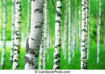 trunk of birch tree - Close up of trunk of birch tree in...