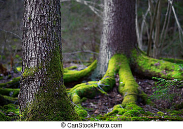 conifer tree in wilderness area - Close up of trunk of ...